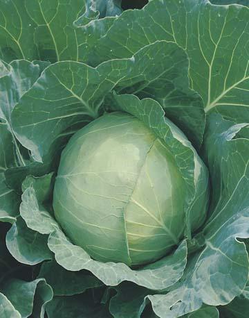 Cabbage Signum F1