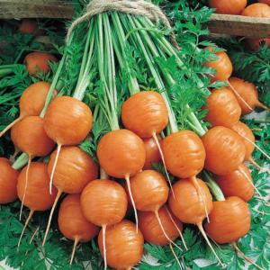 Carrot Marfa F1