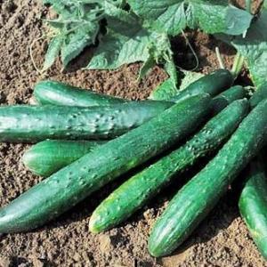 Cucumber Chimao F1