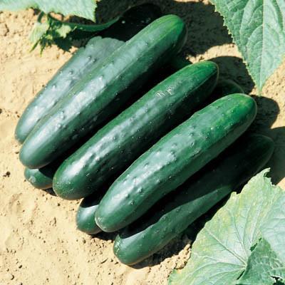 Cucumber Uil F1