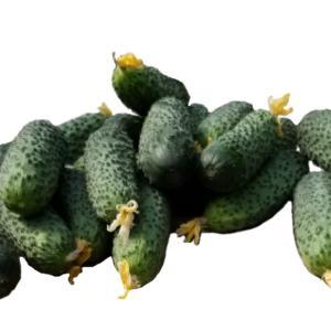 Cucumber Vigas F1