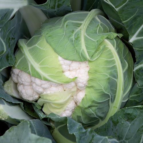 Cauliflower Stetic F1