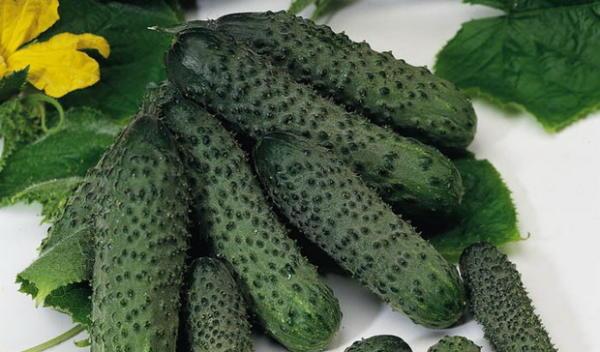 Cucumber Zaza F1